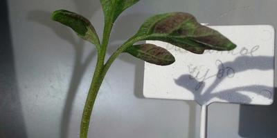 Что с рассадой томата «Балконное чудо»?