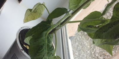 Это болезнь на томате или недостаток ухода?