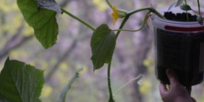 Любимый овощ - огурец Таракановский
