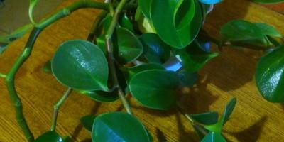 Подскажите название растения. Что с его листочками?