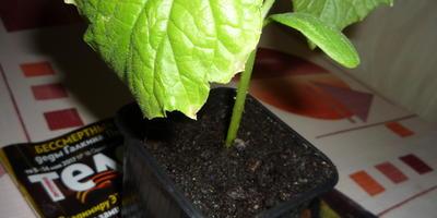 Сохнут и желтеют листики по краям. Как спасти рассаду огурцов?