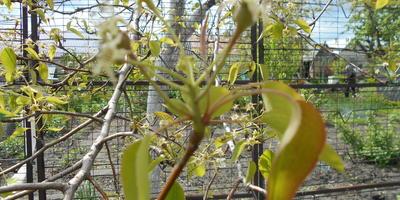 На груше в середине мая мелкие, желтоватые листочки, особенно на верхних ветвях. Почему?