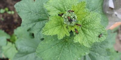Помогите определить насекомых. Вредны ли они?