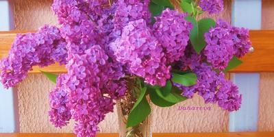 Сиреневые сны моей весны:)