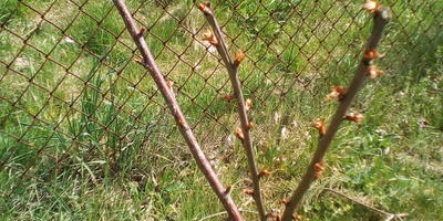 Почему листья черешни распустились и сразу засохли?