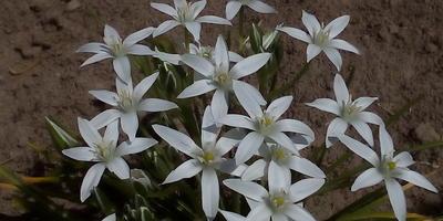 Подскажите, пожалуйста, название этих цветов и способ размножения