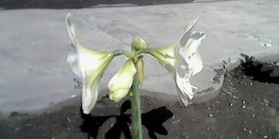 Что это за цветок? Похож на лилию, но без листьев