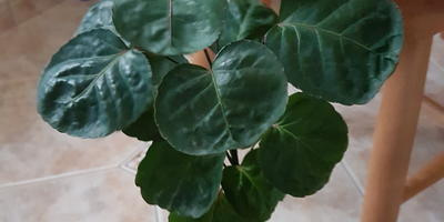 Подскажите название растения. Как укоренить черенок?