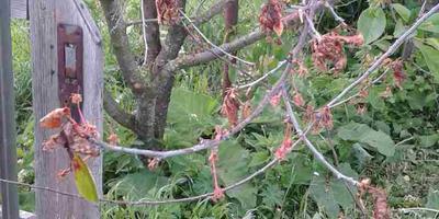 На дереве вишни после цветения сразу засохли все листья. Что делать?