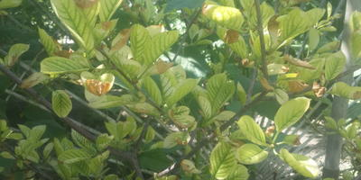 Почему желтеют листья на деревьях в саду?