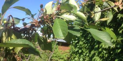 Почему засыхают ветки на вишне?
