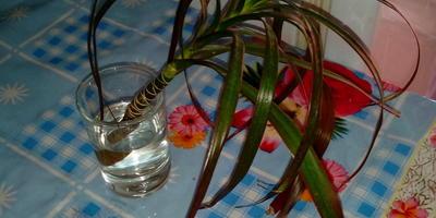 Как правильно посадить отросток комнатного растения?