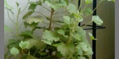 Подскажите, что за растение