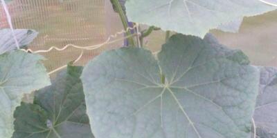Сохнут и сворачиваются листья огурцов. Что делать?