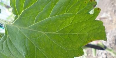 На кончиках листьев помидоров стали появляться коричневые пятна, что это может быть?