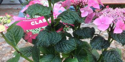 Почему листья гортензии темно-зеленые и морщинистые? Как лечить?