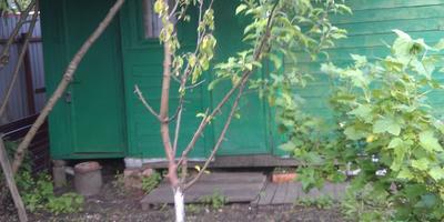Помогите спасти грушу и определить заболевание яблони