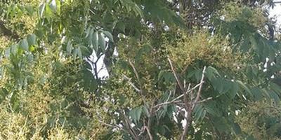 Как называется это дерево?