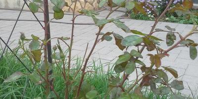 В прошлом году плетистая роза болела, пришлось обрезать под корень. Появились новые побеги. Успеет ли она подготовиться к зимовке?