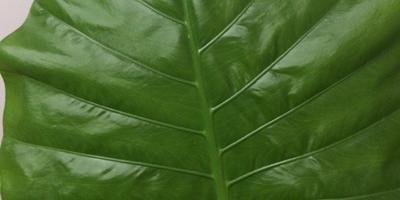 Помогите узнать по листу, что за растение?