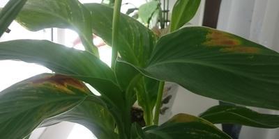 Как называется это растение и почему у него желтеют листья?