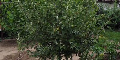 У молодых яблонь скручиваются и твердеют верхние листья на молодых побегах. С чем это может быть связано?