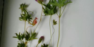 Помогите определить, что это за растение?