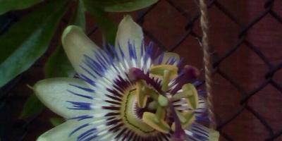 Подскажите, как называется этот цветок?