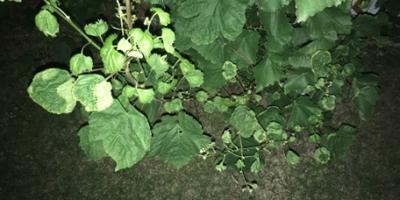 На винограде, огурцах и на чубушнике в этом году молодые листочки скручиваются вверх. В чем причина?