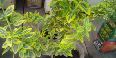 Подскажите название растения. Куда и как лучше посадить платикодон и астильбу?