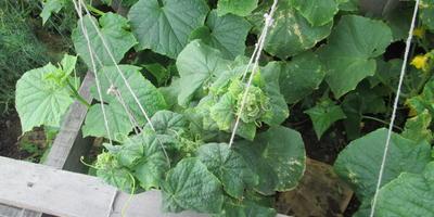 Пропадают огурцы, сверху начинают поджимать листья, съеживаются, отстают в росте и так до нижнего листа. В чем причина?