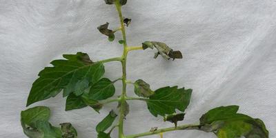 Чернеют и сохнут листья томатов. Что делать?