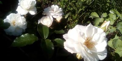Какой сорт розы это может быть?