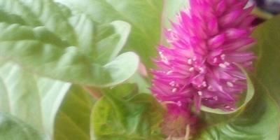 Подскажите, пожалуйста, что за цветочек я вырастила?