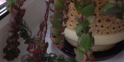 Подскажите, пожалуйста, как называется это растение?