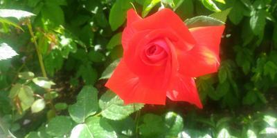 Подскажите, пожалуйста, что за сорт розы?