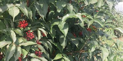 Что это за растение? Это бузина красная?