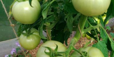 Другие томаты фирмы Партнер