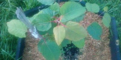 Подскажите, что за растение на участке растет?