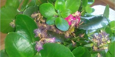 Что это за цветок? Почему у него желтеют листья и что делать?