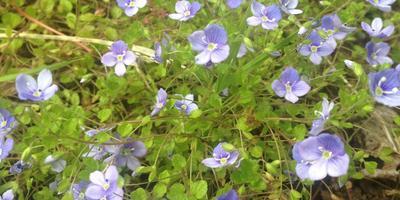 Подскажите, как называется это почвопокровное растение?