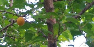 Что предпринять, чтобы абрикос хорошо плодоносил?