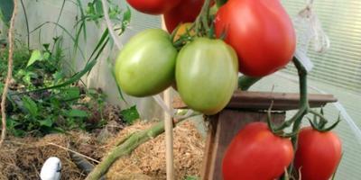 Чудо-томат