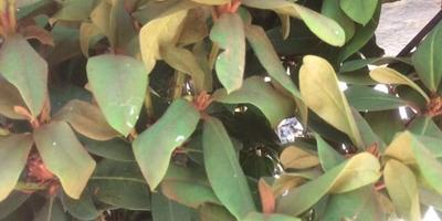 Листья рододендрона начали желтеть и увядать. Как спасти куст?