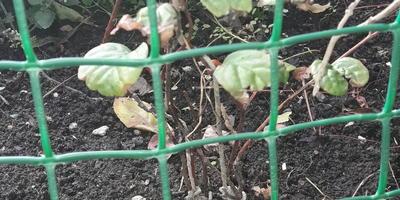 Сохнут листья у посаженного весной китайского лимонника. Что можно сделать?