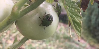 Что за жуки? Вредны ли они в саду-огороде?