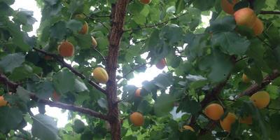 Первый урожай абрикоса