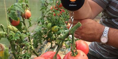 Конкурс 100 000 рублей за помидор. Самая большая кисть - Яркая малиновка