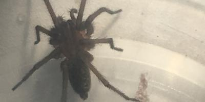 Подскажите, что за паук? Ядовит ли он?