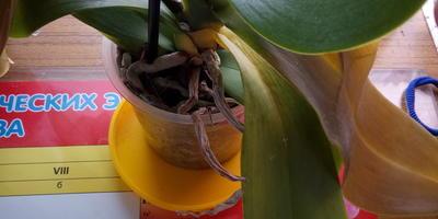 Подскажите, что с орхидеей?